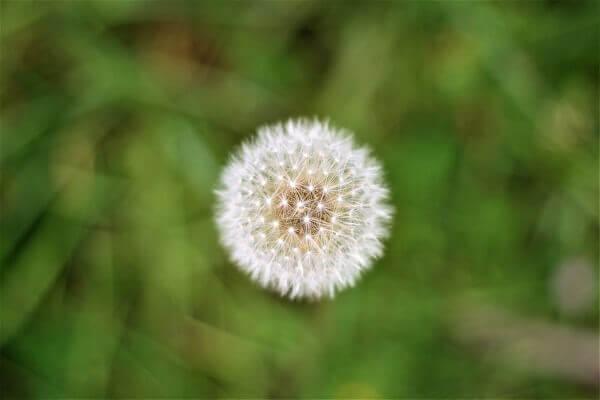 Mơ thấy hoa bồ công anh